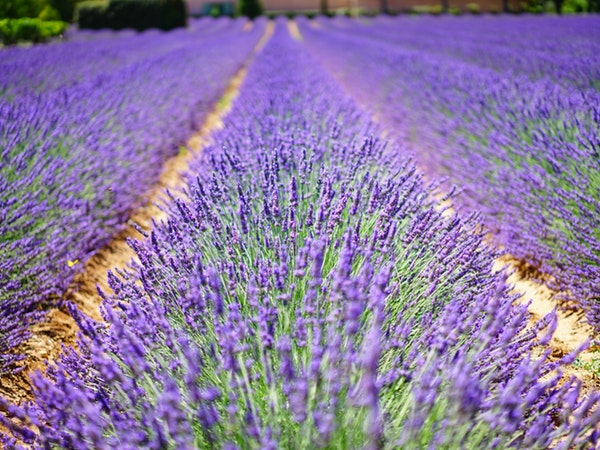 lavender-flowers-blue-flowers-purple-139396